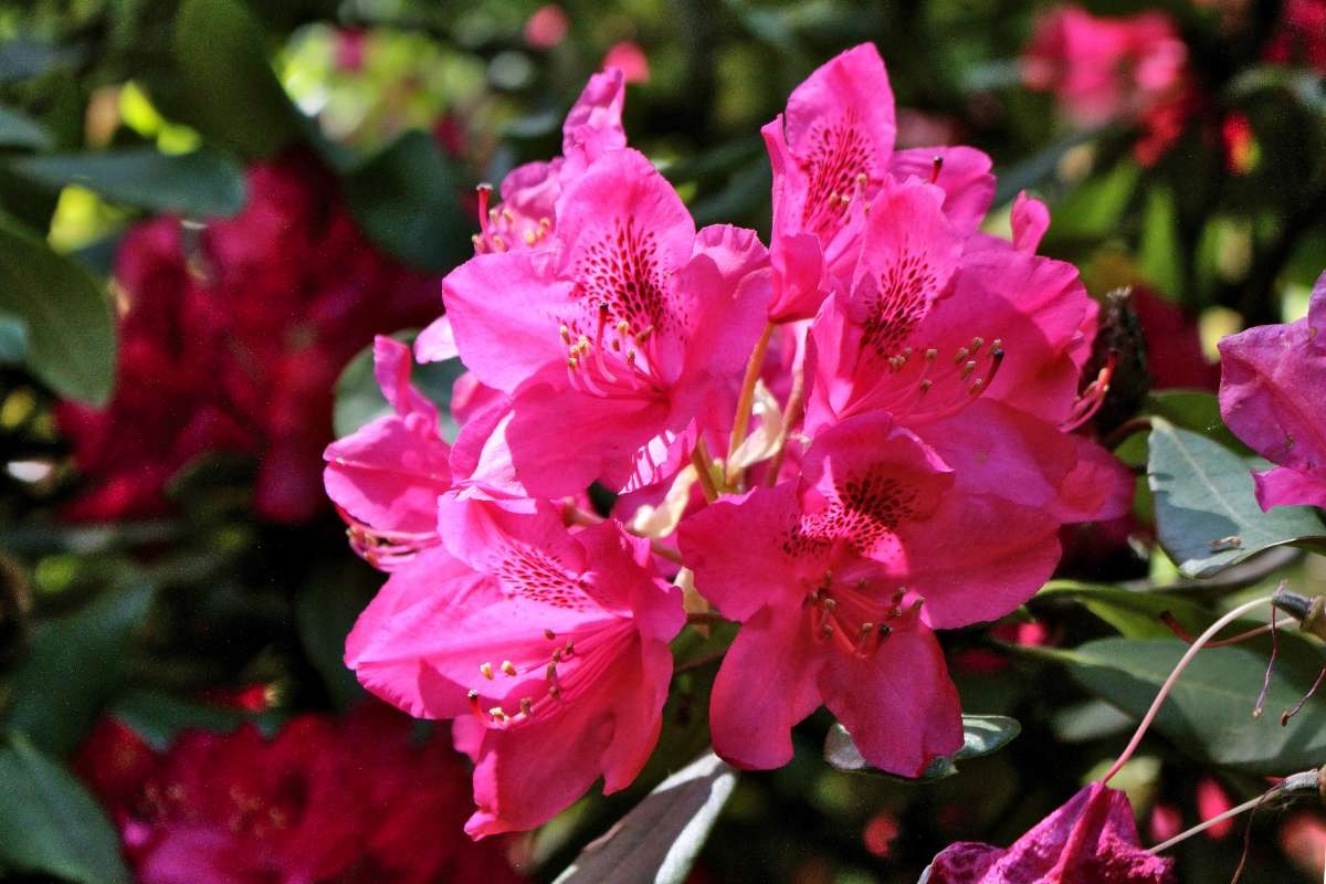 Rhododendron care, planting and growing
