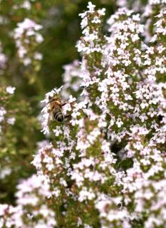 White-flowered thyme blooming