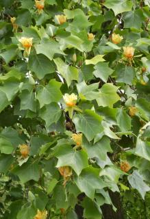 Tulip tree leaves and flowers