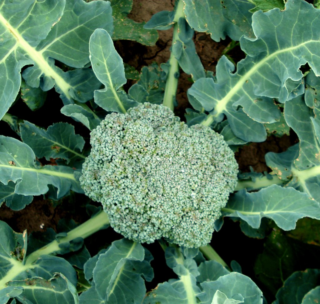 A beautiful head of broccoli cabbage forming with leaves around it, shot from above.