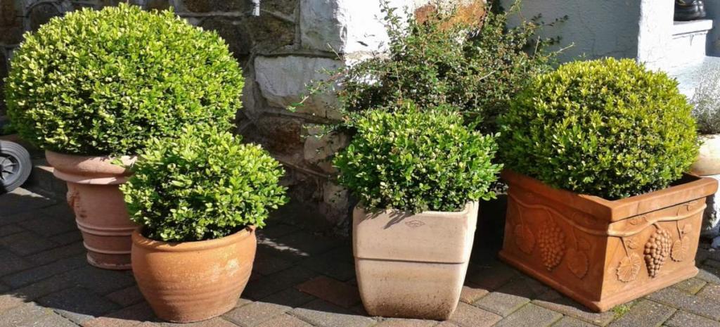 Round boxwood in pots