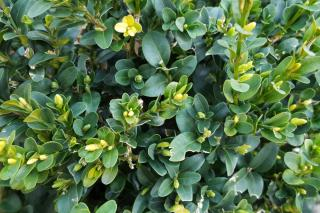 Boxwood is great for topiary because it grows slowly
