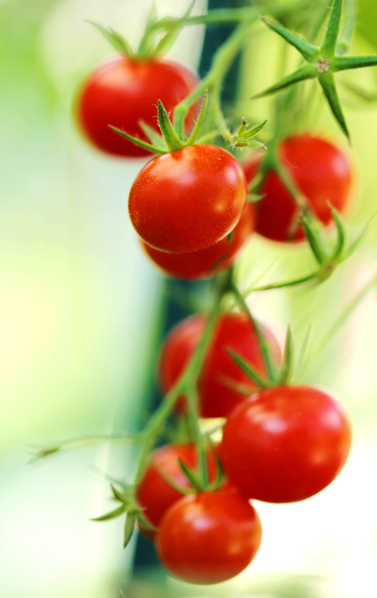 Cherry tomatoes growing on the plant.