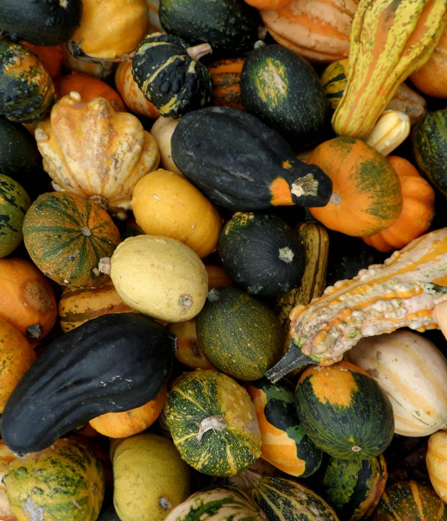 Colocynth squash, ornamental pumpkins, piled nicely.