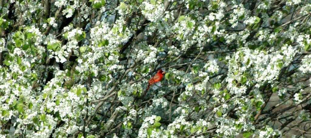 Deacorative or ornamental pear blooming with a cardinal in it.