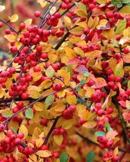 Firethorn in autumn