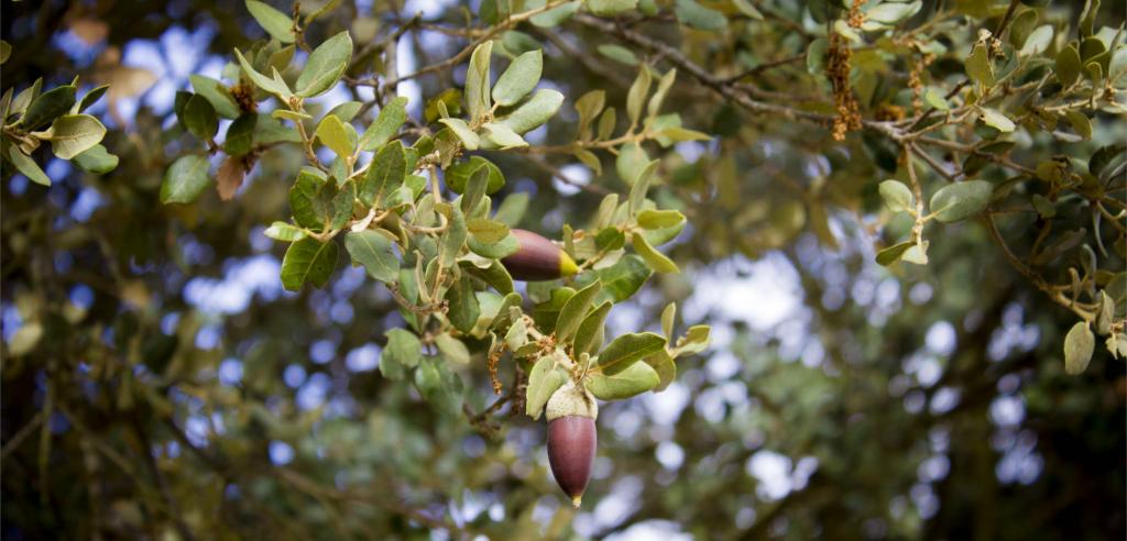 Evergreen oak with acorns