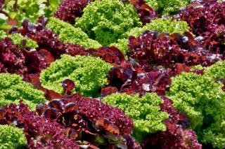 Rows of oakleaf lettuce