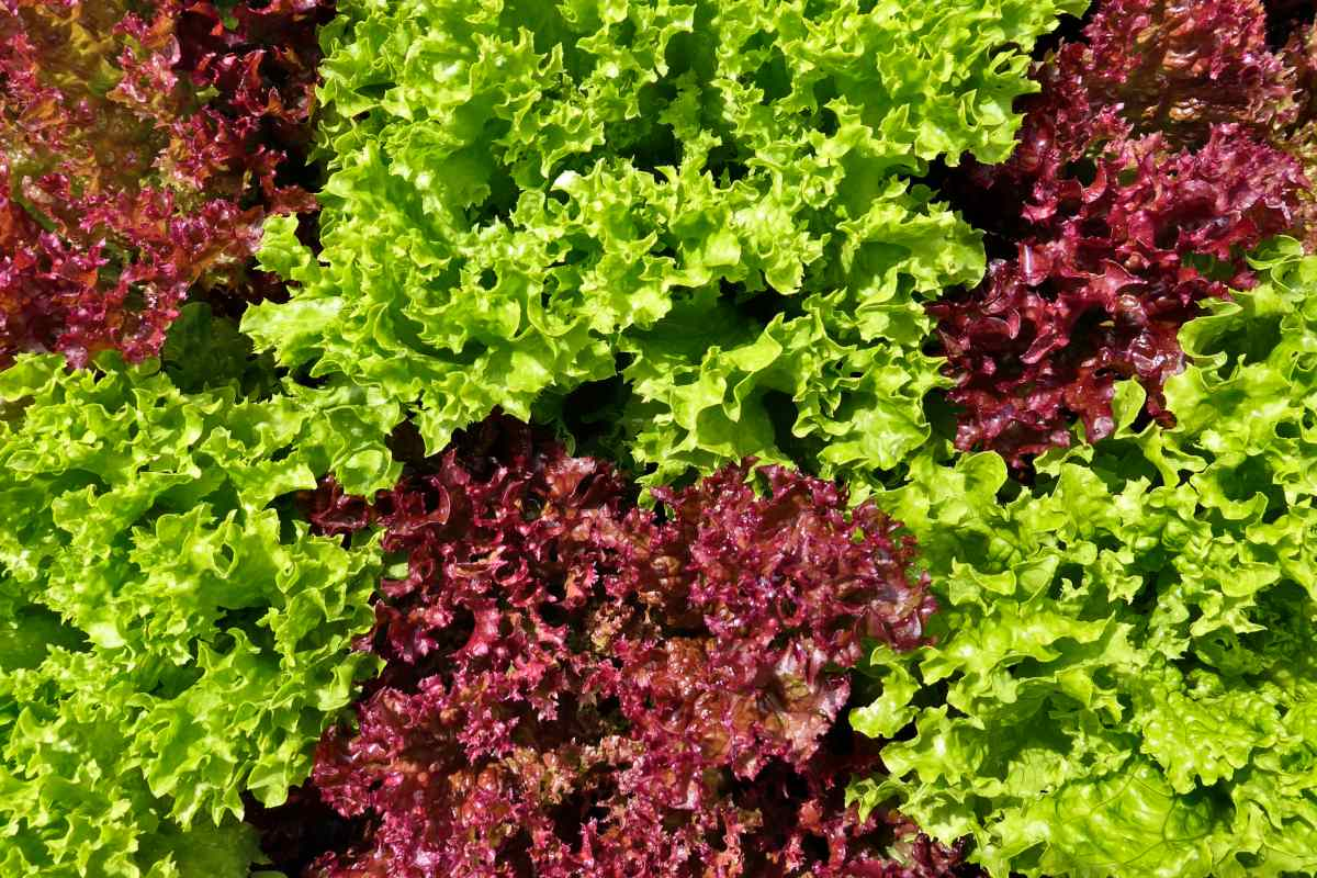 Oakleaf, a delicious lettuce