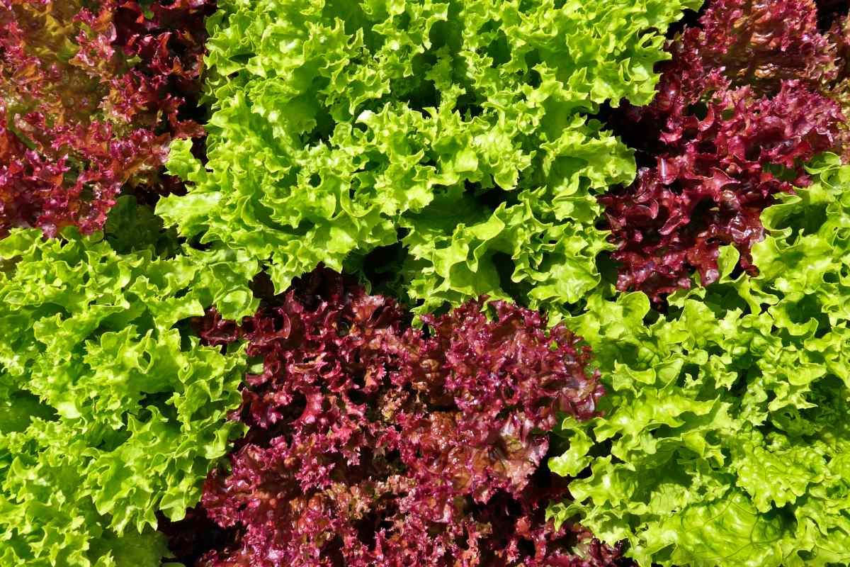 Oakleaf lettuce care and tips
