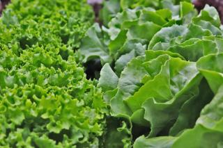 Oakleaf lettuce on the left, common lettuce on the right