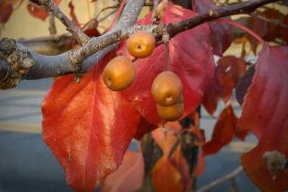 Fruits and leaves of an ornamental pear tree