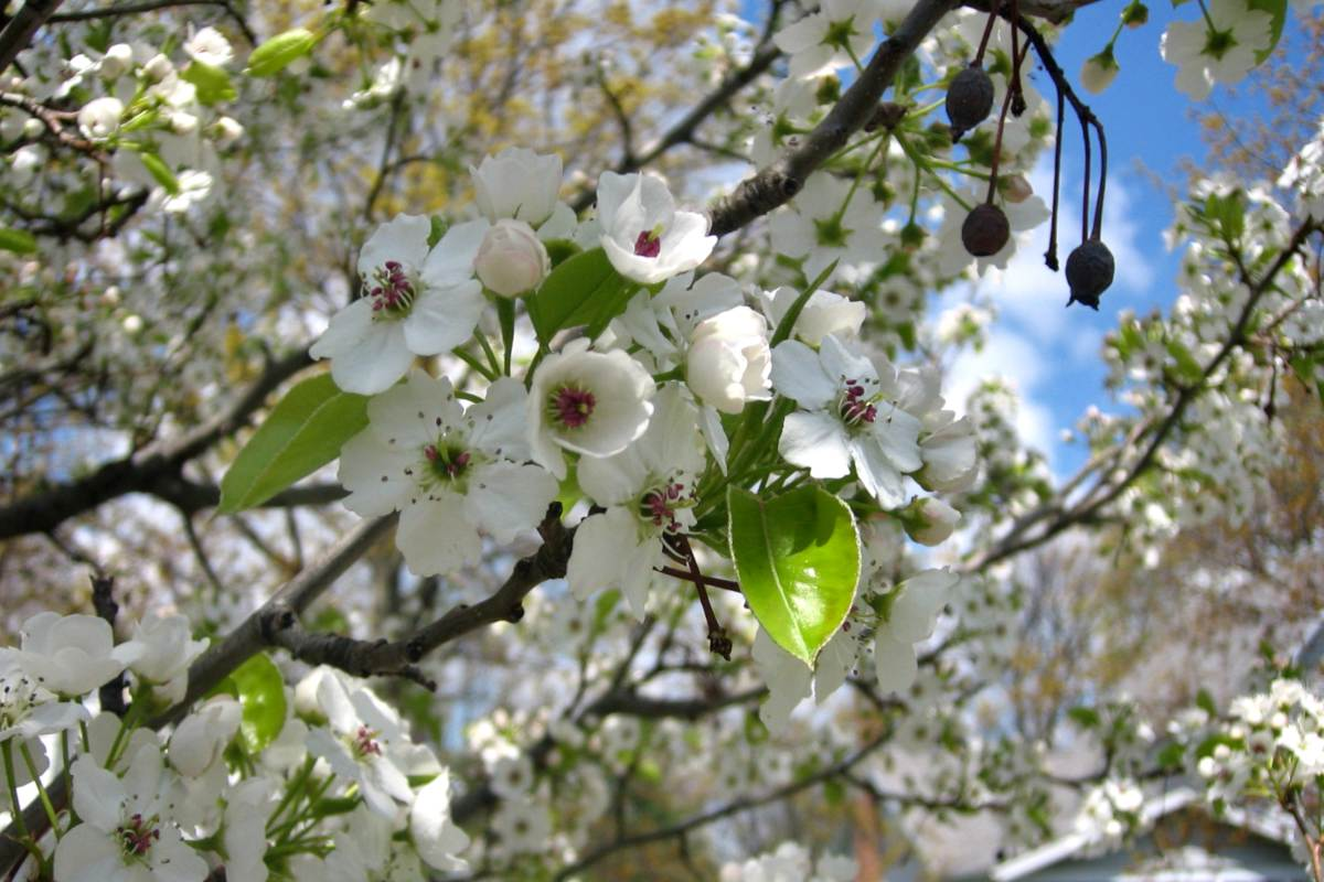 Ornamental pear tree flowers