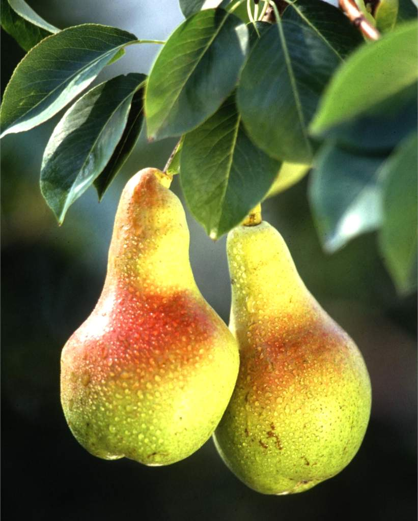Pear tree, a king of the orchard