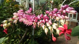 Last on the calendar, Clerodendron blooms in Fall