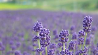 Lavender is a magnificent option for summer blooms