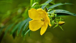 St Johns wort sprig blooming in summer
