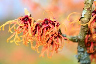 Witch hazel blooming in winter