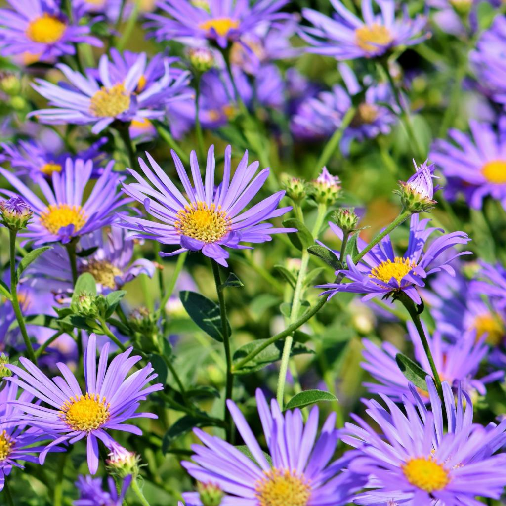 Violet aster flowers cluttering a field.