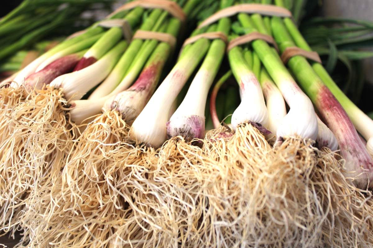Bunching onion (or Welsh onion), a delicious herb
