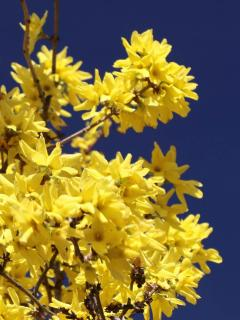 Bright contrast between deep blue sky and bright forsythia yellow