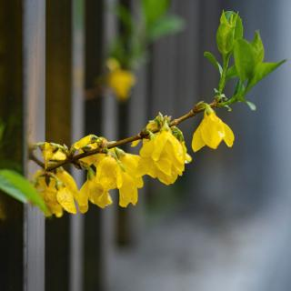 Forsythia twig peeking out of a fence, with flowers