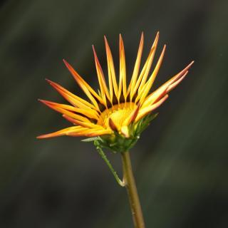 Gazania flower unfurling its petals