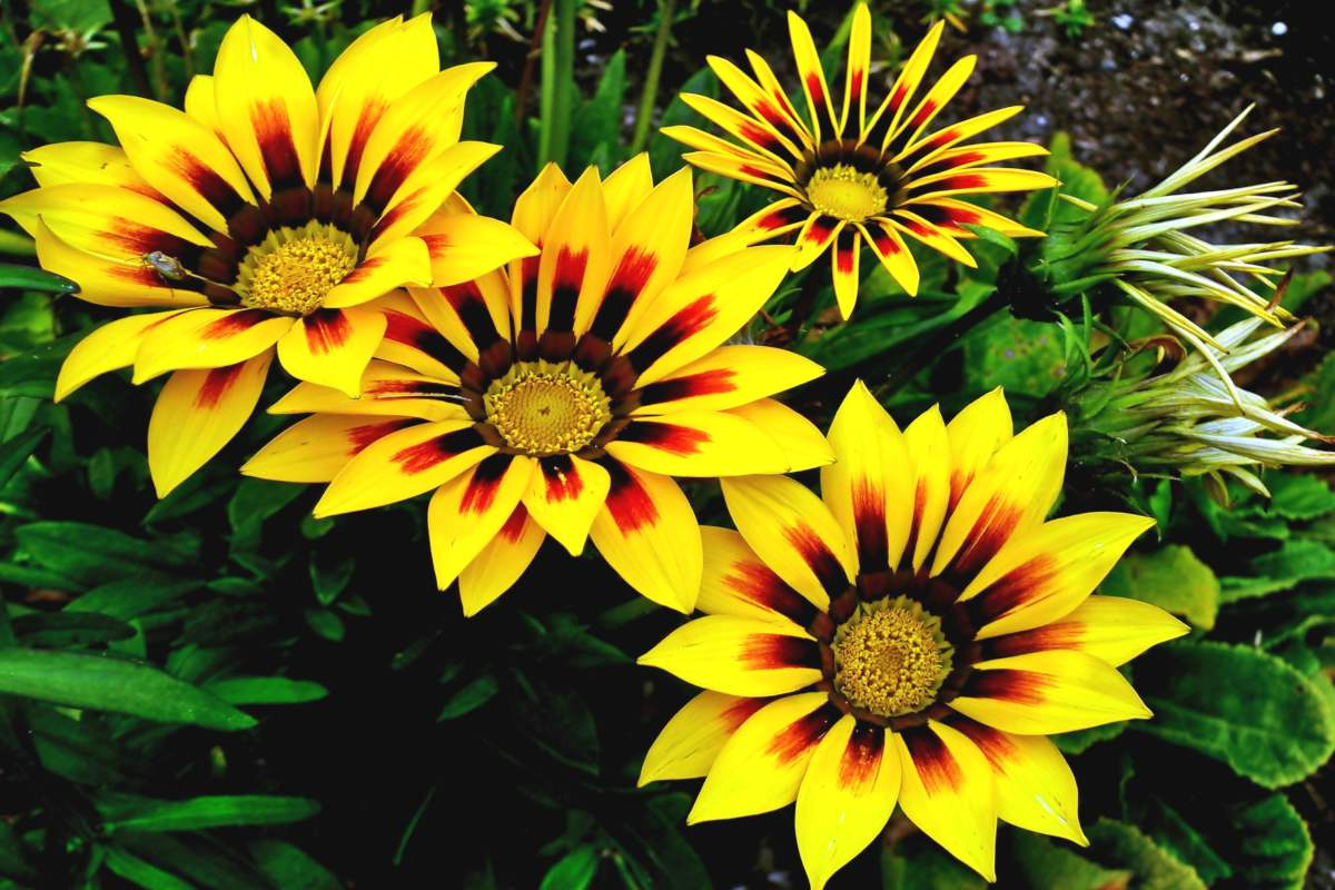 Cluster of yellow Gazania flowers