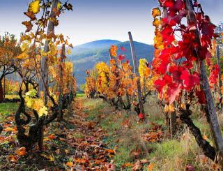 Autumn leaves burst with fiery colors in rows of ornamental grapevines.