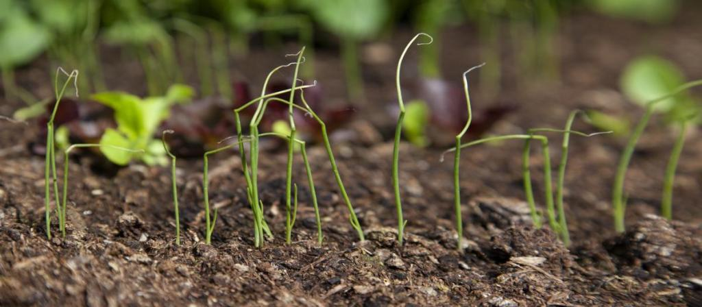 Young spring onions coming up