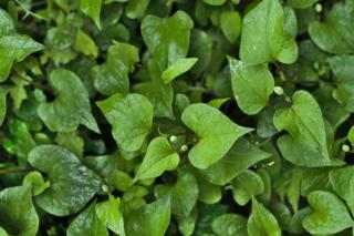 Leaves and budding flowers of houttuynia ground cover