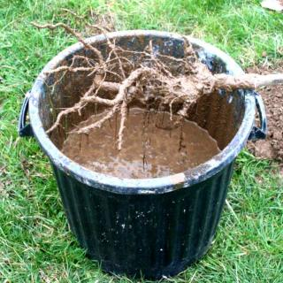 Barrel of root dip with protect shrub roots.