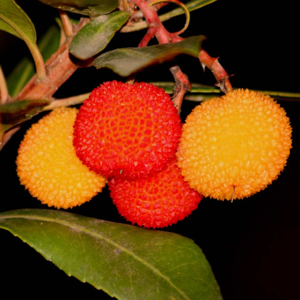 Fruits of the strawberry tree ripening on the branch.