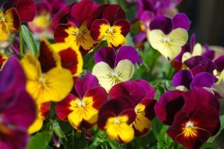 Viola makes flowering ground cover
