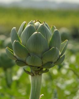 Artichoke head raised up against a hazy background.
