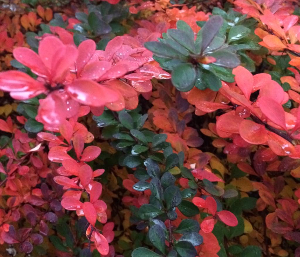 Red and green berberis leaves