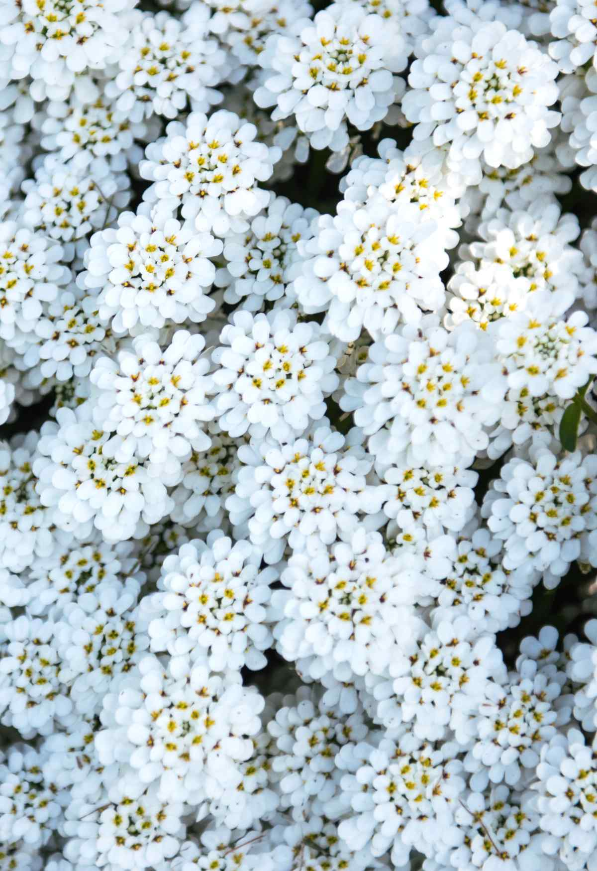 Candytuft, superb ground cover