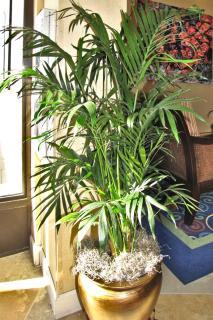 Potted chrysalidocarpus lutescens