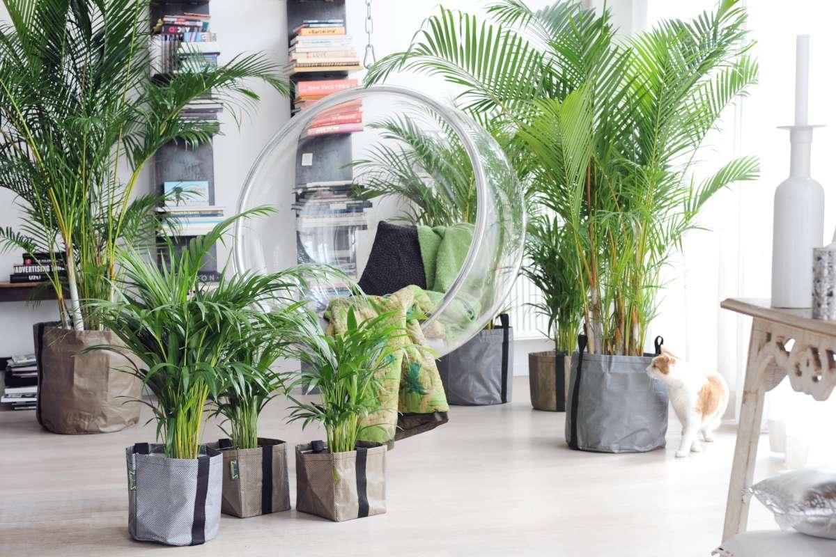 Chrysalidocarpus plant