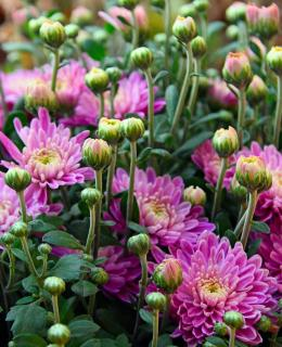 Pink Chrysanthemum flowers and buds