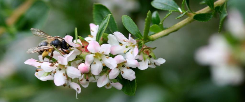 White escallonia with a pollinator
