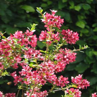 Shrubby escallonia bearing lots of flowers