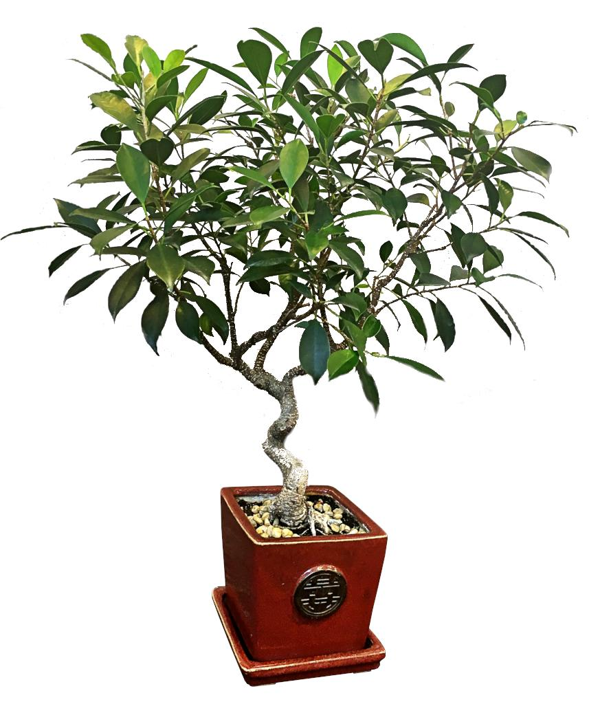 Ficus retusa bonsai in a red enamel clay pot.