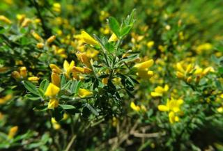 French broom shrub branches and flowers