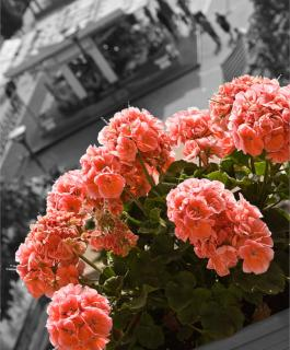 Salmon-colored geranium with black & white background