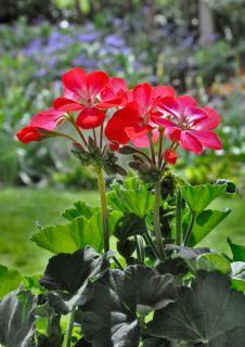Red geranium in a garden