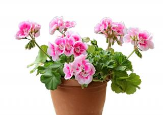 Potted geranium indoors for winter