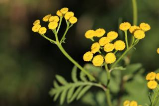 Helichrysum growing guide