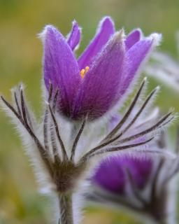 Violet pasqueflower opening up