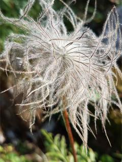 Crazy hairdo of the pasqueflower seedhead.